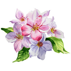 Wildflower apple flower in a watercolor style isolated. Full name of the plant: blooming apple tree. Aquarelle wild flower for background, texture, wrapper pattern, frame or border.