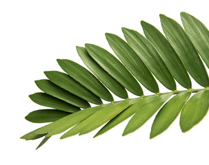 Cardboard palm or Zamia furfuracea or Mexican cycad leaf  isolated on white background, with clipping path