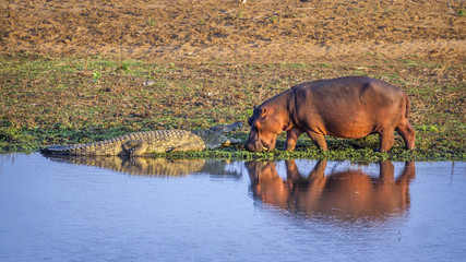 Hippopotamus and Nil crocodile in Kruger National park, South Africa