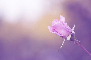The gentle pink rose on a beautiful Sunny background with purple toning.
