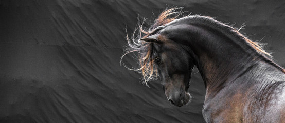 Fototapeta Wild stallion with mane flying portrait head on black