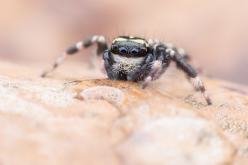 Super macro Carrhotus Sannio or Jumping spider on leaf