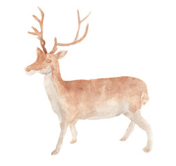 Watercolor painting of Deer standing on a white background, watercolor animal illustration.