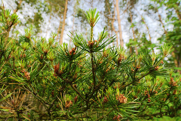 New growth on Scots or Scotch pine Pinus sylvestris tree branches. Young evergreen coniferous plant with male pollen flowers growing in the forest. Selective focus. Pomerania, Baltic coast, Poland.