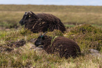 Assynt Peninsula, Scotland - June 7, 2012: Closeup of two black Welsh Mountain sheep which lie in the dry vegetation on the heights of Brae of Achnahaird.