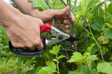garden pruner in hands of woman