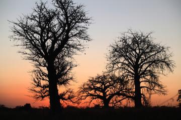 Afryka - piękne wielkie baobaby o zachodzie słońca