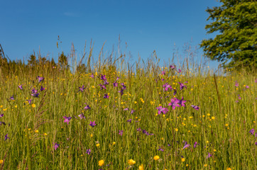 Beskidy mountains, Poland, blooming flowers on the spring meadow