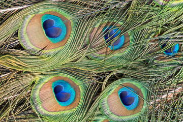 Close-up of colorful Peacock (Indian peafowl or blue peafowl (Pavo cristatus)) feathers.