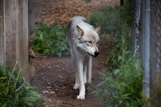 Big grey wolf walking by the green grass