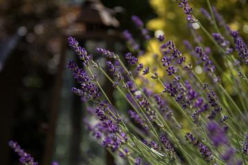 lavender in spring sun