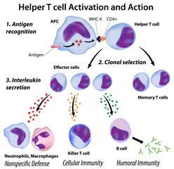 Immune system basics: Function of T helper cells