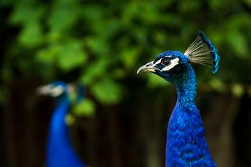 A headshot of a blue male peacock (Indian Pefowl, Pavo Cristatus)