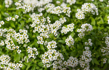 Small white flowers on a green bush