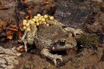 Geburtshelferkröte (Alytes obstetricans) - Common midwife toad