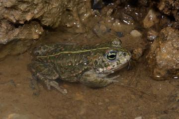 Kreuzkröte (Epidalea calamita) - Natterjack toad