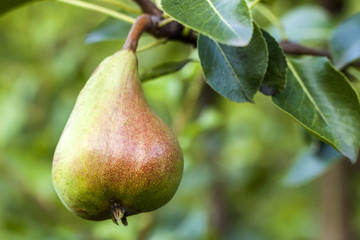 Pear fruit on the tree in the fruit garden close-up