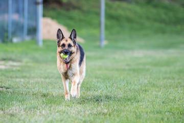 German Shepherd Walking with Tennis Ball