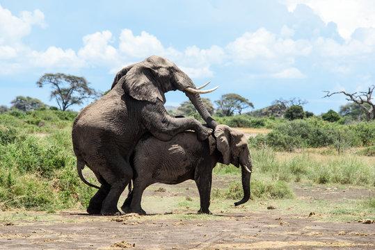 Elephants mating in Amboseli, Kenya