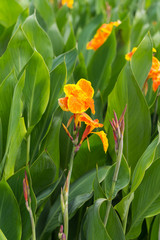 Yellow Canna Lilly with green leaves background