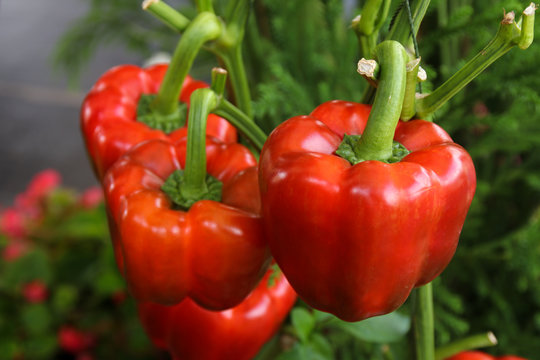 fresh red bell peppers growing on tree in garden, paprika chili.