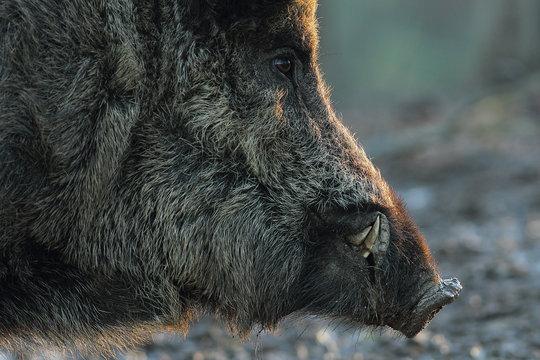 closeup of wild boar head