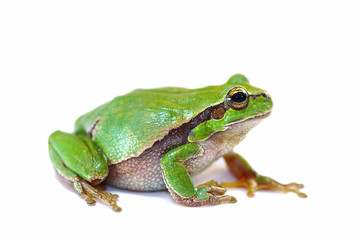 colorful green tree frog on white background