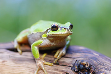 european tree frog on a stump
