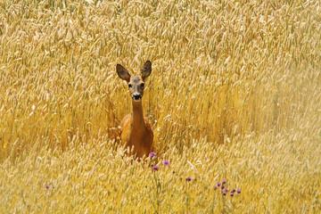 roe deer doe in beautiful wheat field