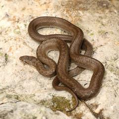 smooth snake basking on a stone