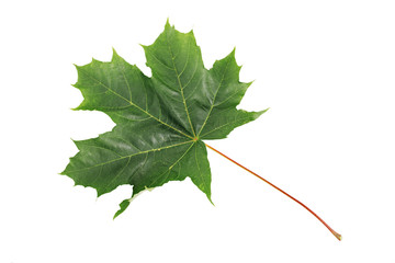 Green Maple Leaf isolated on white background. Clipping path included.