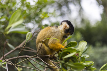 Ginger squirrel monkey with black head