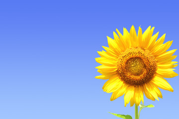 Fototapete - Yellow sunflower on blue sky background