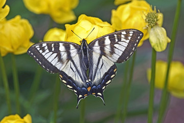 Beautiful Swallow Tail Butterfly feeding nectar from yellow flowers.
