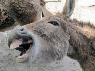 A donkey shows the teeth smiles