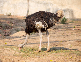 Ostrich isolated