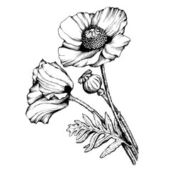 Graphic the branch poppies flowers with a bud (Papaver somniferum, the opium poppy). Black and white outline illustration hand drawn painting. Isolated on white background.