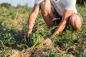 Young farmer checking his watermelon field at organic eco farm