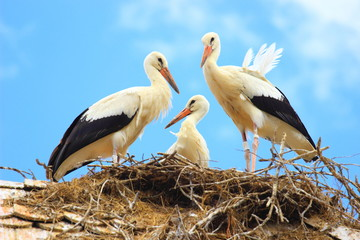 Young storks in nest