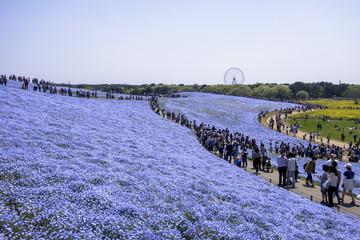 Fototapete - 国営ひたち海浜公園のネモフィラの花