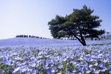 Fotomurales - 国営ひたち海浜公園のネモフィラの花