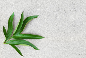 Background of fresh green peony leaf
