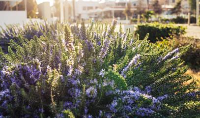 Lavender bushes closeup on warm sunset or sunrise.
