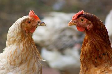 две курицы