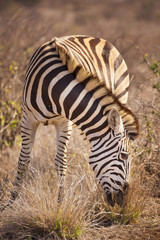 Grazing Burchell's zebra in Kruger National Park, South Africa
