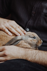 adorable lopsided bunny in hands. cute pet rabbit being cuddled by his owner. love for animals.