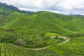 Garden Poster Rice fields Beautiful scenery of tea plantation at Cameron Highlands, Pahang, Malaysia