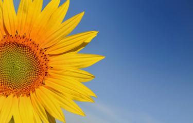 partie d'une fleur de tournesol sur fond de ciel bleu