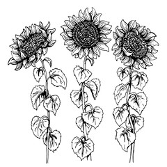 Set of three hand drawn Graphic sunflower isolated on white