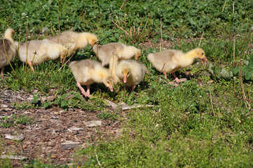 Goslings, run along the grass.